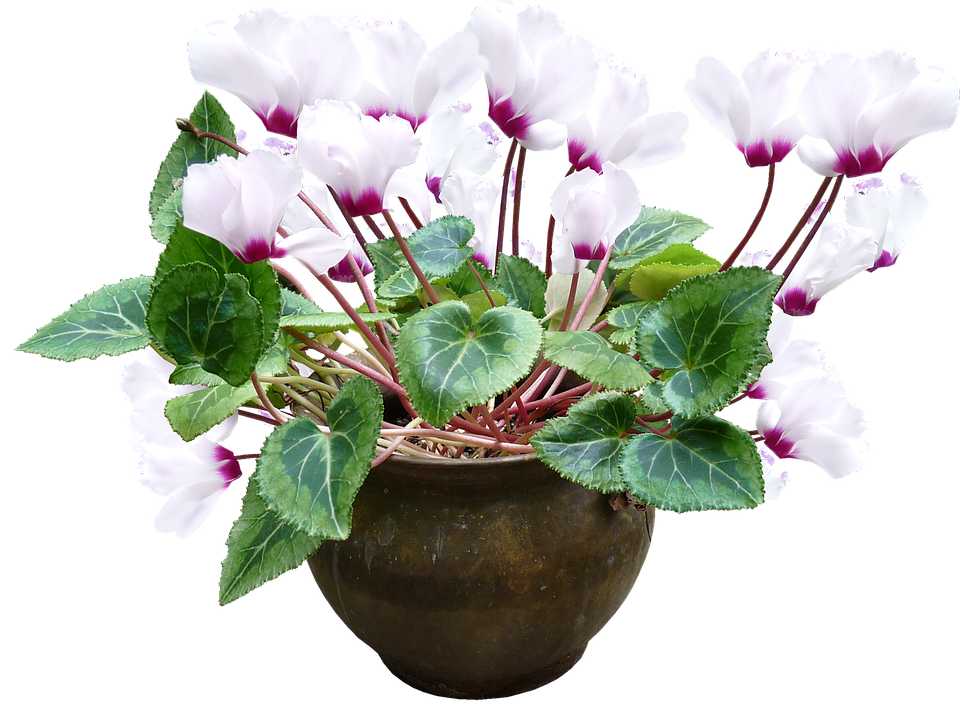 cyclamen floare de apartament