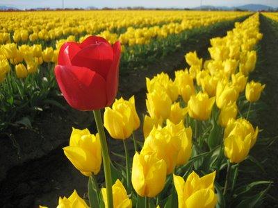 lalelele, flori de primavara